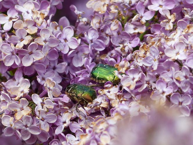 Flieder mit grünem Käfer - Carlo Brüning