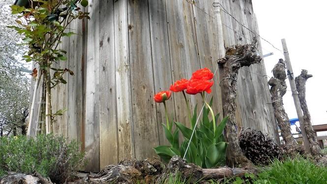 Rebhisli mit Tulpen - Schoeberl