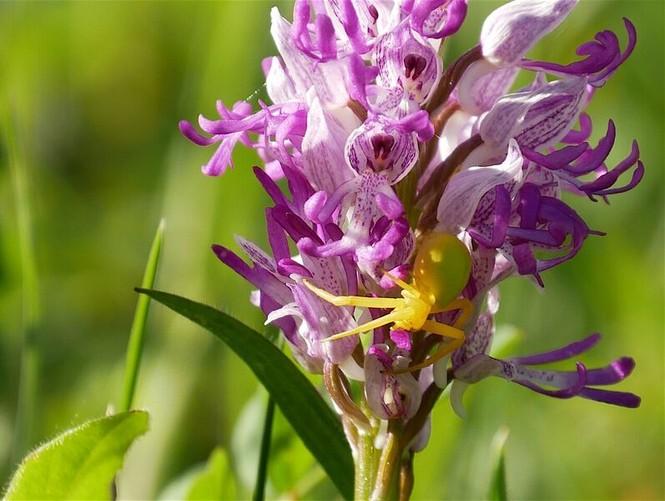 Orchidee mit Spinne