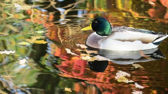 Ente im Teich