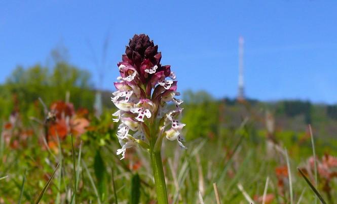 Brandorchidee
