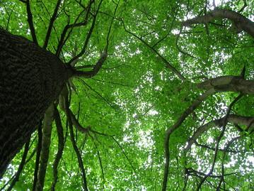 Baumkronen im Liliental