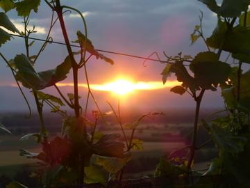 Blick durch Reben im Abendlicht - S.Bury.JPG